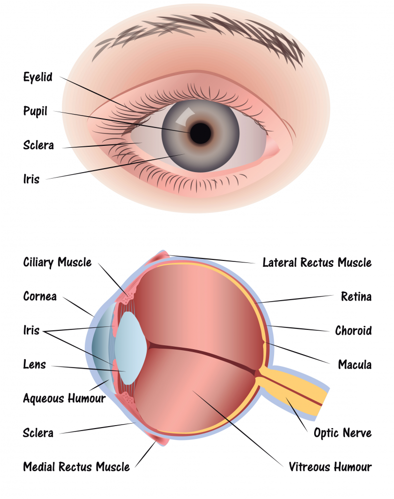 What Are the Parts of The Eye and How Are They Used?